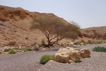 Lone tree in the desert near Eilat Israel