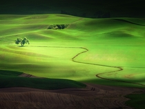 Lone Tree in Washingtons Palouse Region