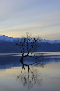 Lone Willow Tree in Lake Wanaka New Zealand