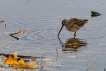 Long-billed Dowitcher actively feeding on a cloudy Montana morning