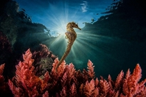 Long-snouted seahorse Hippocampus guttulatus Mediterranean Sea off SantAgnello winner of the SINWP Best of Nature competition   Marco Gargiulo