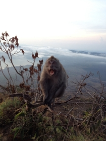 Long-tailed macaque at the summit of Mount Batur Indonesia