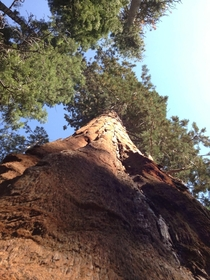 Looking up at a Giant Sequoia in Yosemite