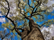 Looking up at a tree in California