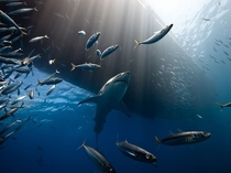 Lord of the Seas Great White Shark Guadalupe Island Photograph by Marc Henauer
