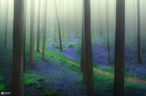 Lost in bluebells Hallerbos Belgium