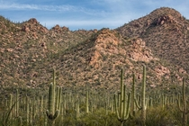 Lots of Saguaros Tucson AZ USA