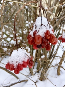 Love finding the contrast of these vibrant red berries topped with a snow cap