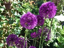 Love my Alliums
