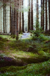 Love that soft light you get in the forest Whinlatter Forest Lake District England
