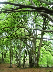 Loved these trees - Portumna Forest Ireland