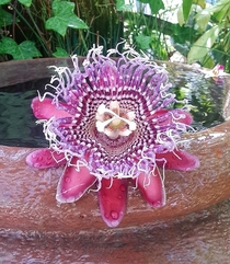 Lovely details and colors in this Passion Flower Passiflora