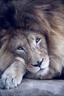 Lovely Lion Panthera leo