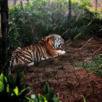 LSUs Bengal Tiger Mike VI in all of his Majesty Panthera tigris tigris