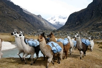 Luggage llamas on a mission trip in Bolivia photo credit goes to my dad