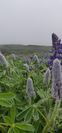 Lupin Fields in Sklanes Iceland