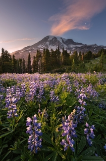 Lupine Eruption Paradise Mount Rainier