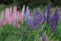 Lupine in New Zealand running into these flowers was one of the happiest of moments my year