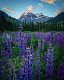 Lupines and last light at Mt Robson British Columbia Canada  IG travelswitheresa
