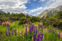 Lupines blooming in AorakiMount Cook National Park