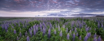 Lupines in the early morning in Iceland by Tobias Knoch