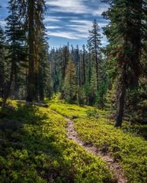 Lush sub-alpine forest in Lassen Volcanic NP