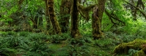 Lush temperate rainforest in Olympic National Park Washington