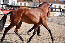 Lusitano horse from Portugal Breed descended from Arabian horse brought to Portugal in the th century -