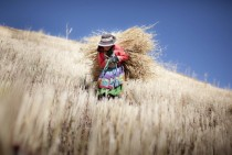 Luzmila  years old carries to her house the barley that she self-harvested in her familys little farm in a rural village at the Andes Mountains called Sotopampa in Peru