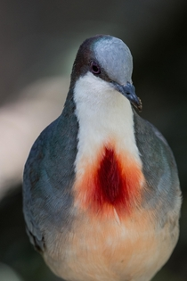 Luzon Bleeding-heart Dove Gallicolumba luzonica