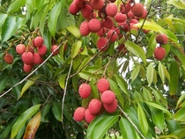 Lychee fruits Litchi chinensis photo by Bruno Navez