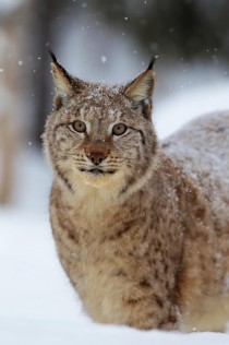 Lynx in snowy forest