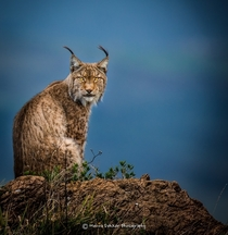 Lynx in the blue hour by Menno Dekker