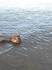 Lynx Swimming past a boat in the Northwest Territories CBC