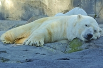 Lyutyik Louie the  lbs kg polar bear Ursus maritimus playing with a twig Alaska Zoo Anchorage  x-post rPolarBears