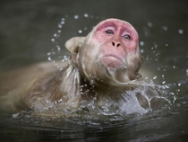 Macaque Swimming in Japan