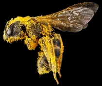 Macro of a bee after collecting pollen  by Sam Droege USGS