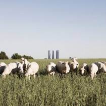 Madrid Skyline amp Sheep -