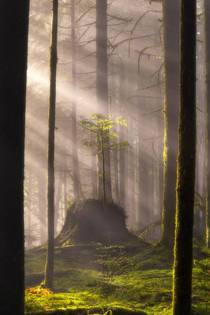 Magical fall morning in a new growth forrest in British Columbia  x