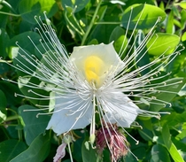 Maiapilo is the best smelling flower - Capparis sandwichiana Endemic to Hawaii