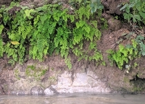 Maidenhair Ferns thriving along the Comal River in Texas