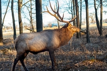 Majestic beast in all the glory - the Elk Reserve Arlington heights  x