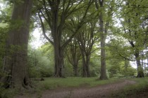 Majestic beech trees- Eastham UK