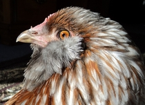 Majestic Easter Egger chicken gallus gallus domesticus