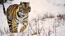 Majestic Tiger in the Taiga
