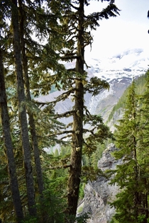 Majestic trees in Mt Rainer National Park WA