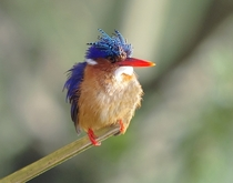 Malachite Kingfisher Alcedo cristata