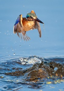 Malachite Kingfisher rising from the water