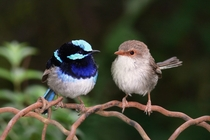 Male and Female Superb Fairy-Wren