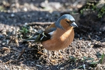 Male chaffinch Photo credit to Duncan Heyes